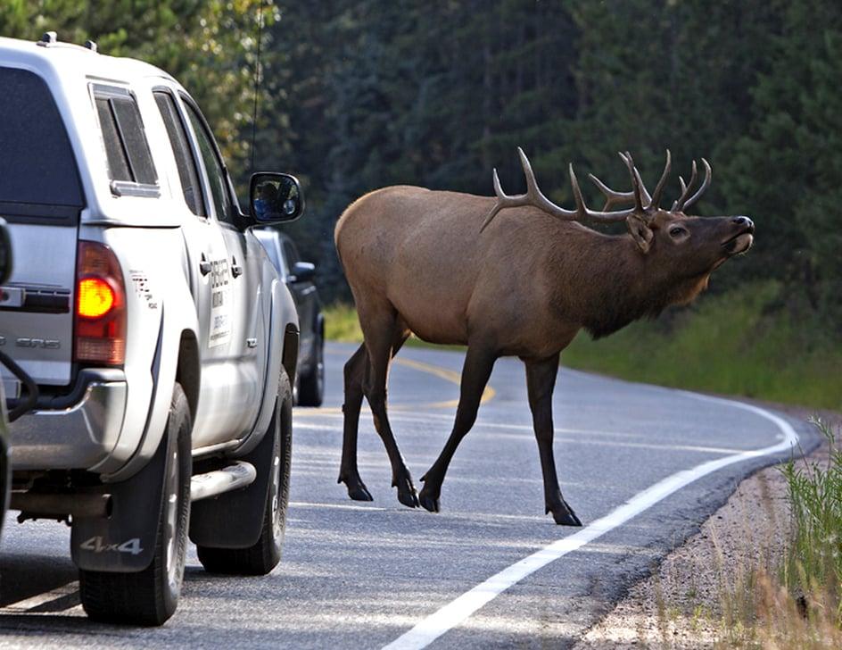 Сбил лося — все тонкости дорожно-транспортного происшествия и какой штраф в 2020 году